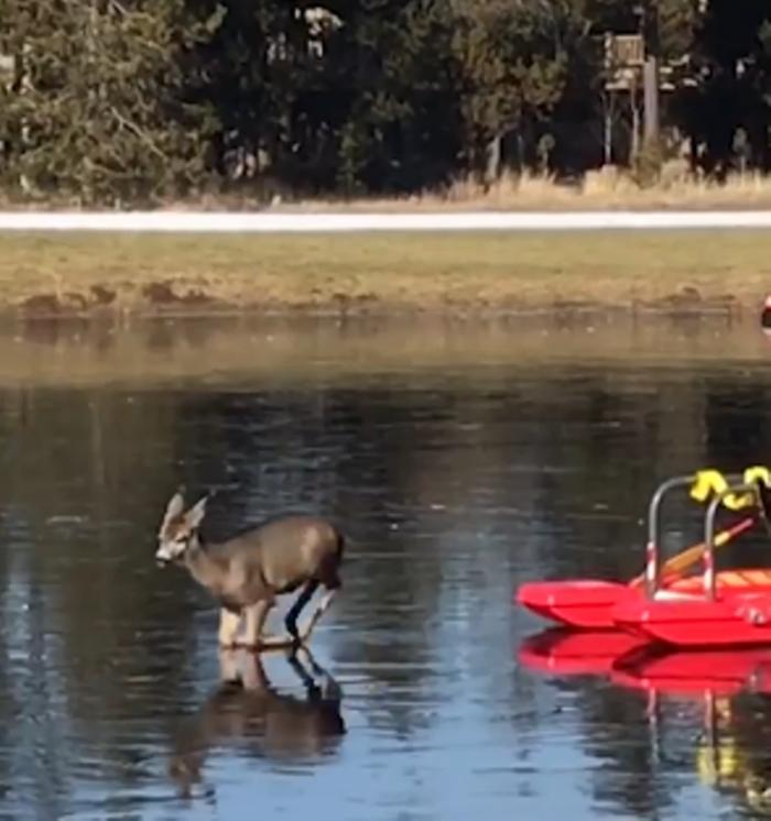 (ВИДЕО) Срна остана заробена во замрзнато езеро, а потоа се случи пресврт