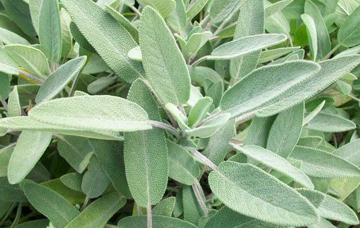 Ја нарекуваат најлековита билка на светот – помага при температура, крајници, висок шеќер и болки
