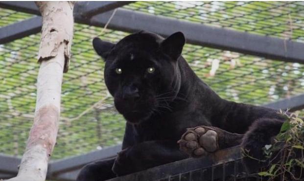 Жена се приближи до јагуар за да се фотографира, па животното ја нападна (видео)