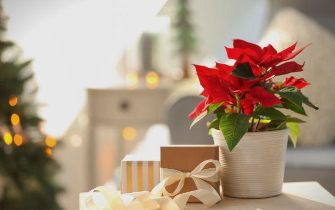 Покрај елката, овој украс треба да го има секој дом- легендите за Божиќната ѕвезда