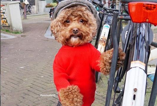 Запознајте го Агадор: Кучето кое изгледа прекрасно во било каква облека