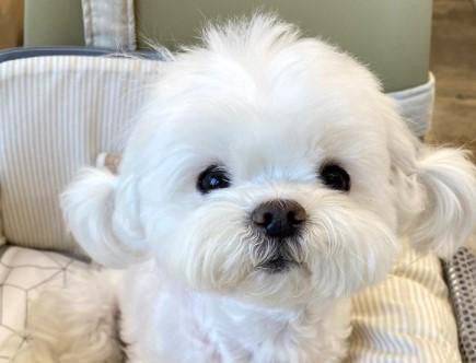 Ова куче изгледа како плишена играчка и има 261 000 обожаватели